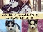 Фотография в Собаки и щенки Продажа собак, щенков Чёрно-белые голубоглазые щеночки хаски- в в Оренбурге 0