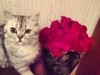 Изображение в Кошки и котята Вязка Шотландский кот 1, 2 г. Привит, имеет опыт в Оренбурге 500