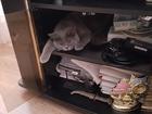 Фотография в Кошки и котята Вязка Британский кот голубого окраса с ветеринарным в Оренбурге 500