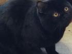 Фото в Кошки и котята Вязка Шотландский котик Яша, черного окраса, возраст в Оренбурге 0