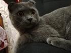 Фотография в   Шотландский вислоухий кот (9месяцев) ищет в Оренбурге 0