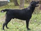Просмотреть foto Вязка собак Кобель лабрадора для вязки 38797318 в Оренбурге