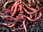 Увидеть foto  Настоящие Калифорнийские черви в Оренбурге 39060451 в Оренбурге
