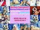 Сибирский хаски фото в Оренбурге