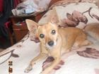 Уникальное foto Потерялись животные Найдена собака пинчер-девочка, рыжая 68032331 в Оренбурге