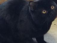 Шотландский кот-страйт приглашает кошечек на вязку Шотландский котик Яша, черног