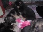Фото в Собаки и щенки Продажа собак, щенков Продам щенков немецкой овчарки от шикарных в Осинниках 4000