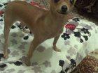 Увидеть фото Вязка собак Ищем жениха для вязки 33950001 в Острогожске