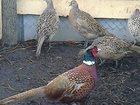 Изображение в Хобби и увлечения Охота В продаже подсадная утка Кряква и фазан  в Пензе 0