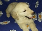 Фото в Собаки и щенки Продажа собак, щенков Продаётся алиментный (лучший в помёте) щенок в Пензе 0