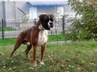Фотография в Собаки и щенки Вязка собак Титулованный красавец, ЮЧР, ЧР, 2-х летний в Пензе 1