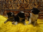 Фотография в Собаки и щенки Продажа собак, щенков Отдам милых щенков от домашней собачки в в Пензе 0