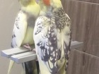 Смотреть фото  Пропал попугай порода Корелла 39623519 в Пензе