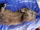 Скачать фото Вязка кошек Нужен кот для вязки, любой, 59968328 в Пензе