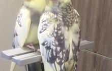 Пропал попугай порода Корелла
