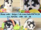 Изображение в Собаки и щенки Продажа собак, щенков Продаю голубоглазых чёрно-белых щеночков в Переславле-Залесском 0