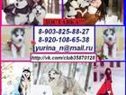 Фотография в Собаки и щенки Продажа собак, щенков Продаю замечательных щенков хаски чёрно-белого, в Переславле-Залесском 0