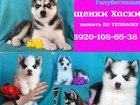 Фотография в Собаки и щенки Продажа собак, щенков Продам щенков хаски! Яркого черного с белым в Переславле-Залесском 0