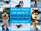 Смотреть изображение Вязка собак Красивые черно-белые кобели хаски для вязки 59493018 в Переславле-Залесском