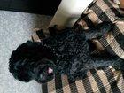 Фото в Собаки и щенки Вязка собак Русский черный терьер 7 лет, с хорошей родословной, в Перми 0