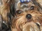 Фотография в   Предлагаются очень красивые щенки йорка из в Перми 25000