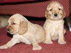 Изображение в Собаки и щенки Продажа собак, щенков 19 июня родились прекрасные щеночки породы в Перми 0
