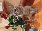 Foto в Кошки и котята Вязка Красивая и ласковая кошечка, ищет себе котика в Перми 0
