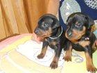 Фото в Собаки и щенки Продажа собак, щенков Продаются щенки цвергпинчера ч. п. и рыжего в Перми 15000