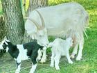 Изображение в Домашние животные Разное Породам козу козлят нашей уральской породы в Перми 5000