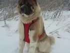 Фотография в Собаки и щенки Вязка собак Ищем вязку для мальчика Американская Акита в Перми 0