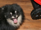 Фотография в Собаки и щенки Вязка собак Предлагается для вязки кобель померанского в Перми 3000