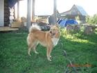 Изображение в Собаки и щенки Вязка собак Карело-финская лайка.   Ищет кобеля для вязки. в Перми 0