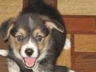 Фото в Собаки и щенки Продажа собак, щенков Четыре мальчика окрас триколор с хвостиками в Перми 50000