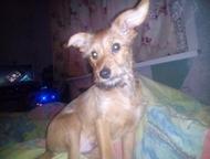 Отдам собачку в добрые руки Кобель 7 месяцев зовут пончик. маленького роста. пер