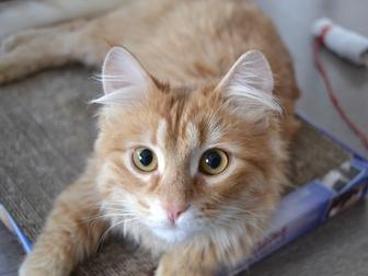 Свежее фотографию Отдам даром Отдадим рыжего котика! 35870544 в Перми