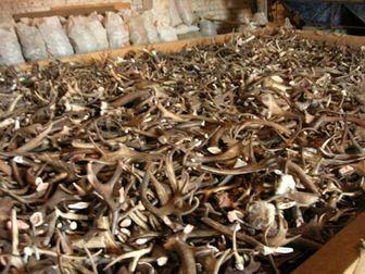 Смотреть фотографию Охота Купим Рога Лося Дорого, Продайте рога Лося уже сегодня, Покупаем Дороже 47192471 в Перми