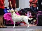 Скачать бесплатно фото Вязка собак Кобель для вязки лабрадора ретривера 38931212 в Питере