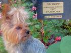 Свежее фото Вязка собак Kinder (Йокширский терьер) Предлагается для вязки 40258612 в Пятигорске