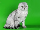 Свежее foto Вязка Шотландский вислоухий кот на вязку 38231371 в Подольске