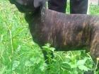 Изображение в   продаётся щенок кане корса чёрно-тигровый, в Москве 20000