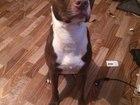 Скачать бесплатно фотографию Вязка собак Порода собаки - Американский питбультерьер зовут Дэниэль! 39792940 в Подольске