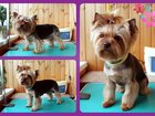 Изображение в Собаки и щенки Стрижка собак Дипломированный мастер-грумер специализирующийся в Пушкино 1300