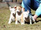 Фотография в Собаки и щенки Продажа собак, щенков Питомник предлагает перспективных щенков в Пушкино 40000