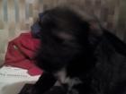 Фотография в Собаки и щенки Продажа собак, щенков Отдам шенков в добрые рукию новым хозяевам. в Пушкино 0