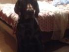 Фото в Потерянные и Найденные Потерянные Потеряна собака, кабель немецкий курцхаар, в Раменском 0