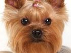 Скачать фотографию Стрижка собак Зоосалон на Холодово 2 39449312 в Раменском