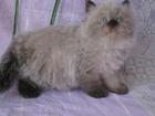 Изображение в Кошки и котята Продажа кошек и котят Продаются гималайские (персидские колор-пойнт) в Реутове 7000