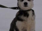 Фото в   Продам щенков сибирской Хаски, чистокровные. в Рязани 0