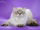 Уникальное фото Вязка невский маскарадный кот приглашает на вязку 38648773 в Рязани