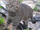 Скачать фотографию Потерянные пропала кошка 39083075 в Рязани